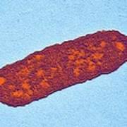 Salmonella Bacterium, Tem Poster by Dr Klaus Boller
