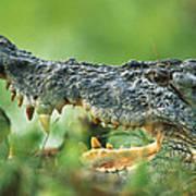 Saltwater Crocodile Crocodylus Porosus Poster by Cyril Ruoso