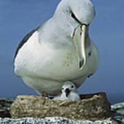 Salvins Albatross Thalassarche Salvini Poster by Tui De Roy