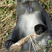 Samango Monkey Poster by Tony Camacho