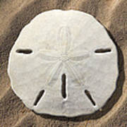 Sand Dollar Poster by Mike McGlothlen