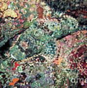 Scorpionfish Poster by Gregory G. Dimijian