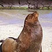 Sea Lion  On Genovesa Island Poster by Thomas R Fletcher