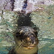 Sea Lion Portrait, Los Islotes, La Paz Poster by Todd Winner