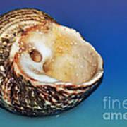 Seashell Wall Art 2 Poster by Kaye Menner