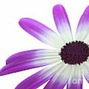 Senetti Magenta Bi-color Lower Right Poster by Richard Thomas