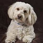 Shih Tzu-poodle On A Brown Muslin Poster by Corey Hochachka