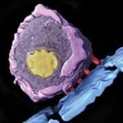 Simian Immunodeficiency Virus (siv) Poster by Sriram Subramaniamnational Cancer Institute