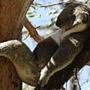 Sleeping Koala Poster by Bob Christopher
