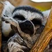 Sleepy Lemur Poster by Justin Albrecht