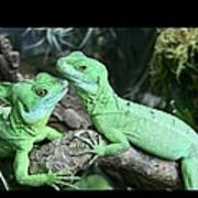 Small Iguanas Stirnlappenba Poster by Rolf Bach