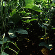 Soybean Leaves Poster by Photo Researchers