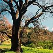 Spring Oak Poster by Kathy Yates