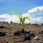 Sprout Of Maize Poster by Bernard Jaubert