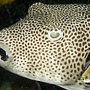 Star Puffer Fish Being Cleaned Poster by Tim Laman