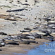 Sunbathing Elephant Seals Along A Beach At Point Reyes California . 7d16065 Poster by Wingsdomain Art and Photography