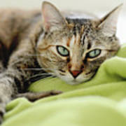 Tabby Cat On Green Blanket Poster by Dhmig Photography