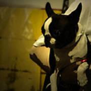 The Boston Bull Terrier  Poster by Steven  Digman