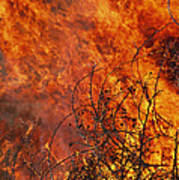 The Flames Of A Controlled Fire Poster by Joel Sartore