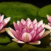 Three Water Lilies Poster by Susan Candelario