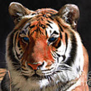 Tiger Blue Eyes Poster by Rebecca Margraf
