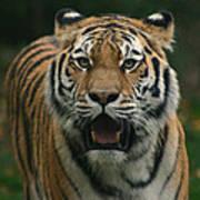 Tiger Poster by David Rucker
