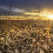 Tumble Wheat Poster by Debra and Dave Vanderlaan
