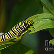 Two Caterpillars Poster by Steve Augustin