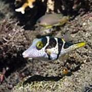 Valentini's Sharpnose Puffer Poster by Georgette Douwma