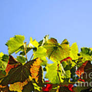 Vineyard Leaves Poster by Carlos Caetano