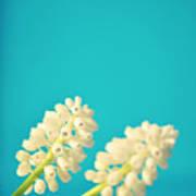 White Muscari Flowers Poster by Photo by Ira Heuvelman-Dobrolyubova