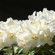 White Sunlit Floral Art Prints Rhododendron Flowers Poster by Baslee Troutman