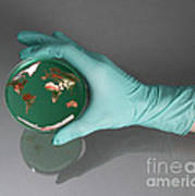 World Inside A Petri Dish Poster by Photo Researchers