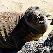 Young Elephant Seal Molting . 7d16100 Poster by Wingsdomain Art and Photography