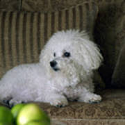 Fifi The Bichon Frise  Poster by Michael Ledray