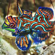 Tropical Fish Mandarinfish Poster by MotHaiBaPhoto Prints