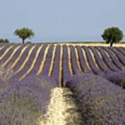 Field Of Lavender. Provence Poster by Bernard Jaubert