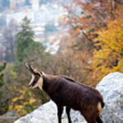 Goat In The Austrian Alps Poster by Andre Goncalves