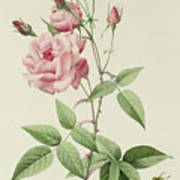 Rosa Indica Vulgaris Poster by Pierre Joseph Redoute
