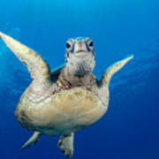 Green Sea Turtle Poster by Dave Fleetham - Printscapes