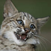A Bobcat At A Wildlife Rescue Members Poster by Joel Sartore