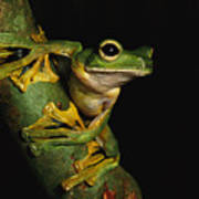 A Wallaces Flying Frog Poster by Tim Laman