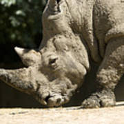 A White Rhino Sniffs The Dust Poster by Joel Sartore