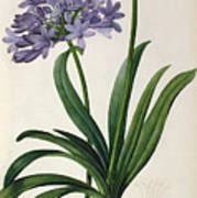 Agapanthus Umbrellatus Poster by Pierre Redoute