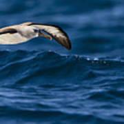 Albatross Of The Deep Blue Poster by Basie Van Zyl