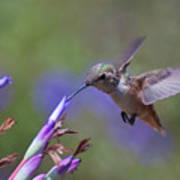 Allen's Hummingbird Poster by Mike Herdering