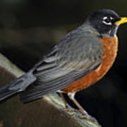 American Robin Poster by Laura Mountainspring