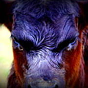 Angry Black Angus Calf Poster by Tam Graff