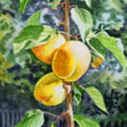 Apricots In The Garden Poster by Irina Sztukowski