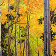 Aspen Trees Poster by Gary Kim